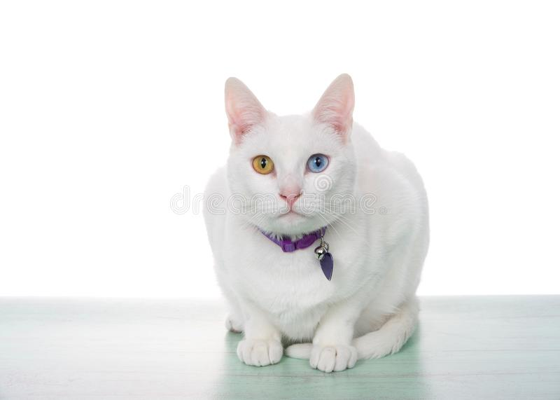 Portrait of a white cat with heterochromia crouching. Portrait of a white cat with heterochromia, odd eyes, crouching on a light green surface looking directly stock photos