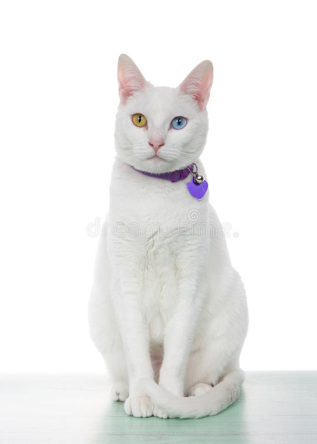 Portrait of a white cat with heterochromia sitting. Portrait of a white cat with heterochromia, odd eyes, sitting on a light green surface looking directly at stock image