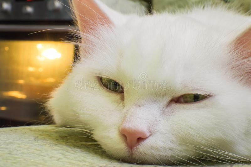 Portrait of a white cat stock photo