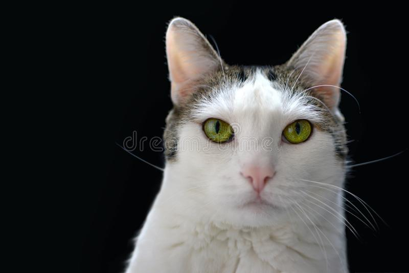 Portrait of a white cat with tabby spots, bright green eyes and pink nose on black background stock image