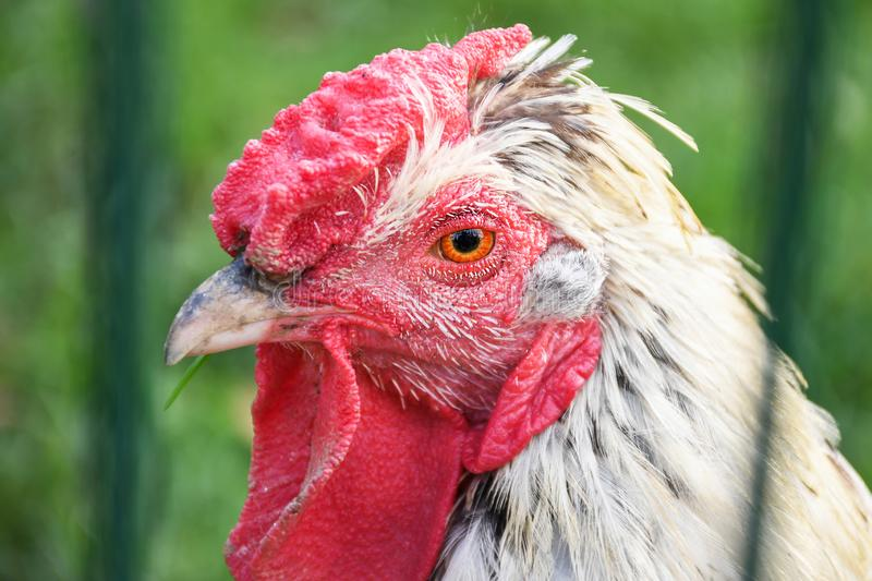 Portrait of white chicken with red head behind a farm fence close up stock photo