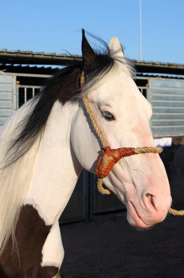 Portrait of a white dapple horse stock photo