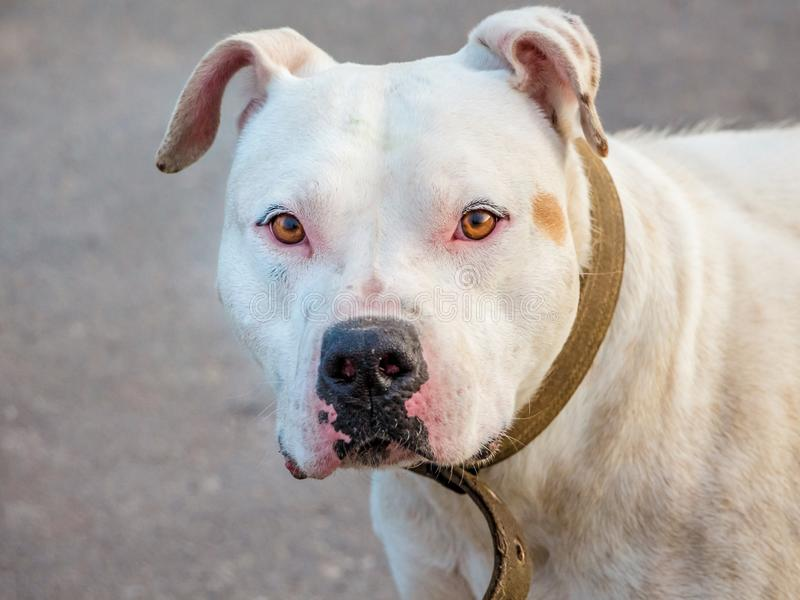 Portrait of a white dog breed pitbull closeup on a blurry background_. Portrait of a white dog breed pitbull closeup on a blurry background royalty free stock images