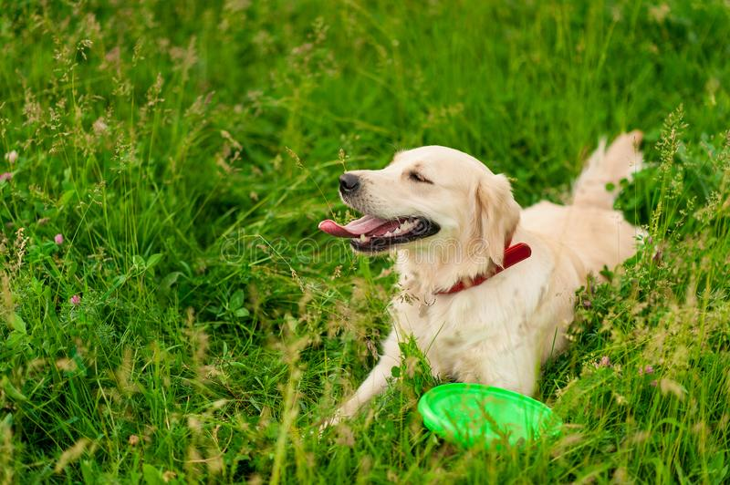 Closeup portrait of white happy golden retriever dog in summer background royalty free stock image
