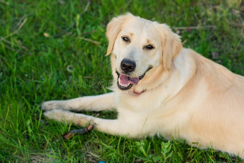Golden Retriever in summer park. royalty free stock photo