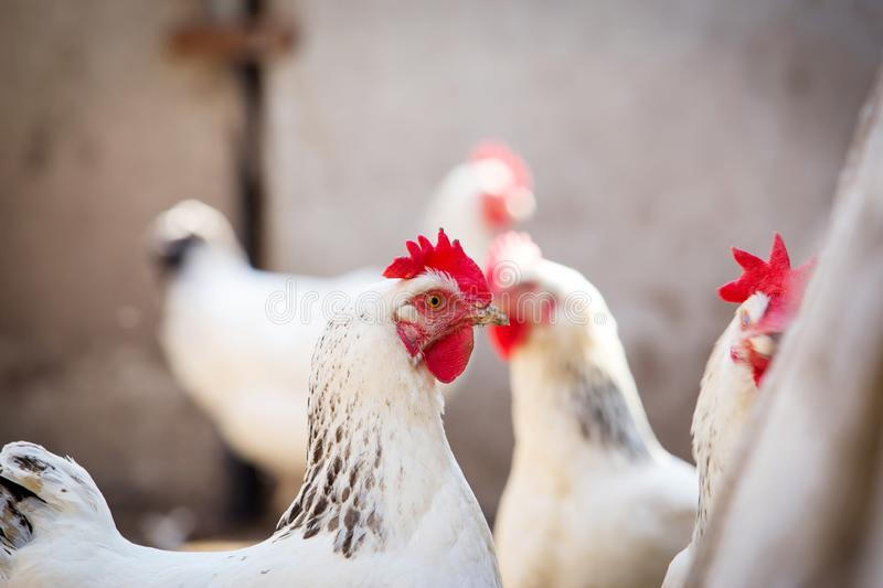 Portrait of white domestic hen royalty free stock image