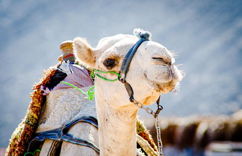 Portrait of white egyptian camel with harness stock image