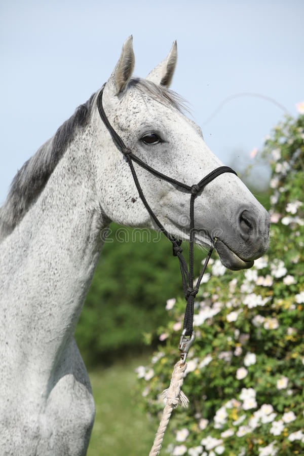 Portrait of white English Thoroughbred horse with flowers stock image
