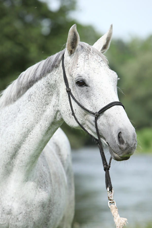 Portrait of white English Thoroughbred horse in front of river stock image