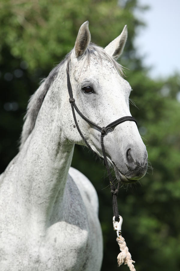 Portrait of white English Thoroughbred horse stock photos