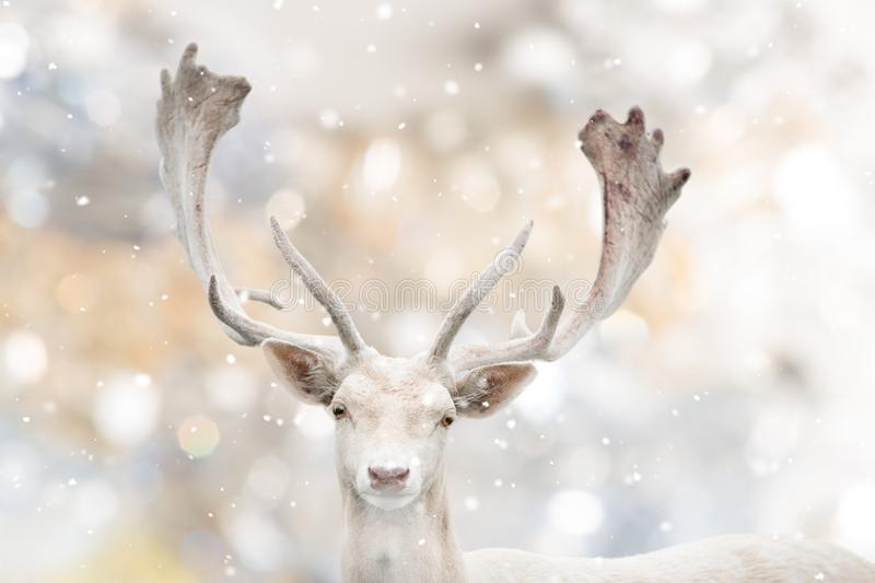 Portrait of white fallow deer in winter time. Beautiful bokeh background royalty free stock images