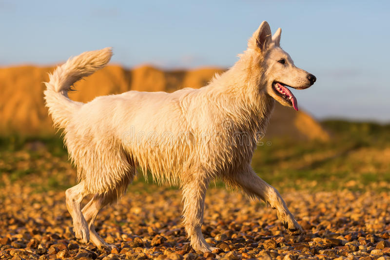 Download Portrait Of A White German Shepherd At A Pebble Beach Stock Image - Image of beach, outdoor: 98924289