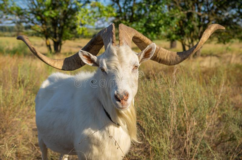 Portrait of white goat with abnormally enormous horns royalty free stock photos