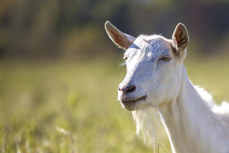 Portrait of white goat with beard on blurred bokeh background. Farming of useful animals concept.  royalty free stock images