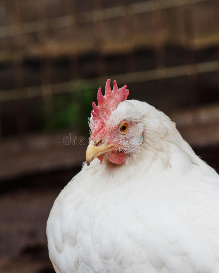 Portrait of a white hen royalty free stock image