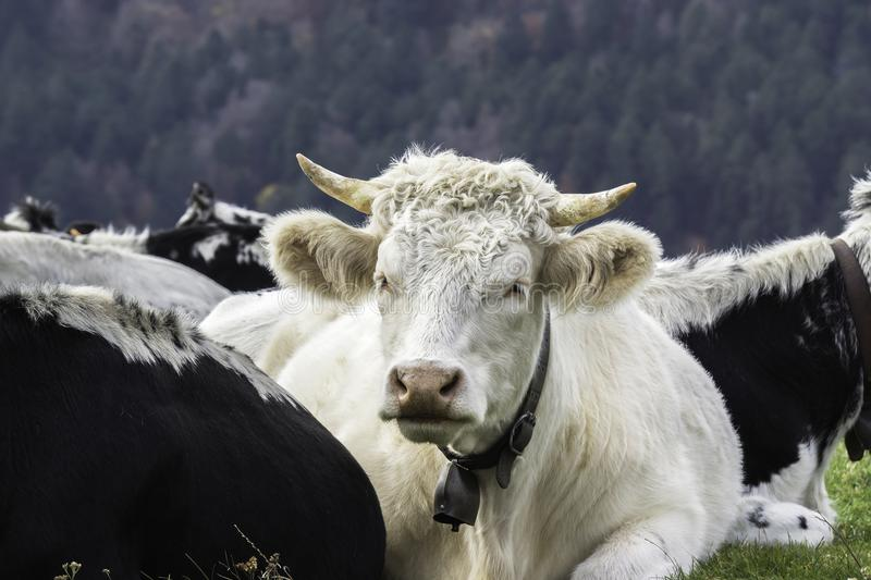 Portrait of a white horned cow royalty free stock image