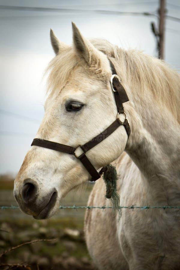 Portrait Of White Horse Stock Photo
