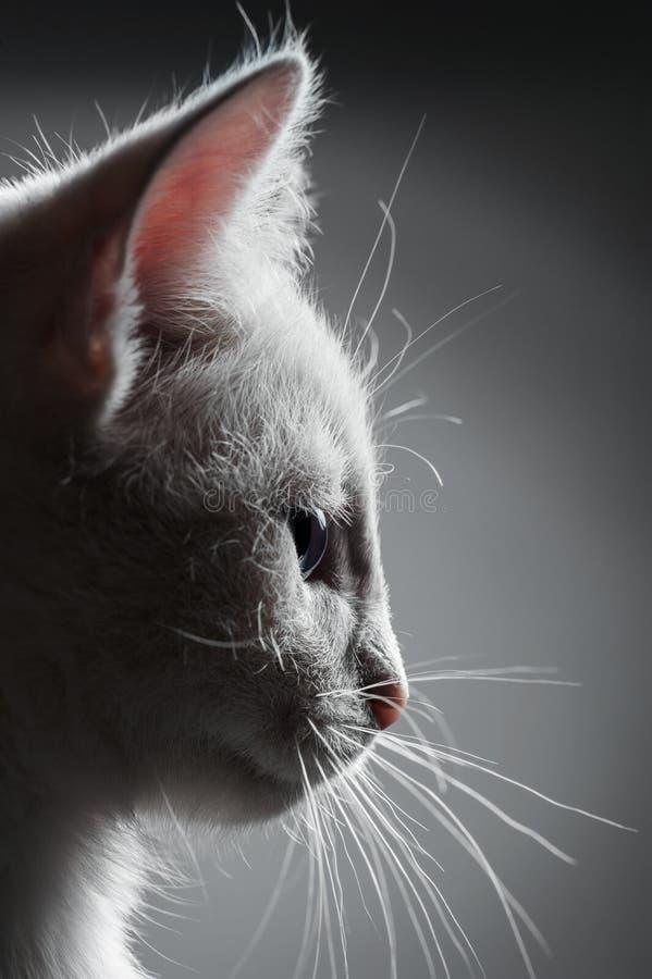 Portrait of white kitten royalty free stock photography