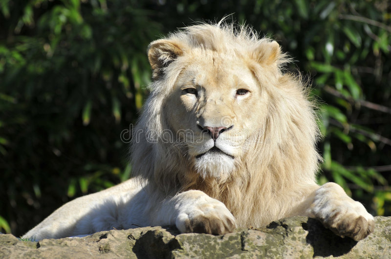 Portrait white lion. Portrait of rare white lion (Panthera leo) from the front on stone royalty free stock photos
