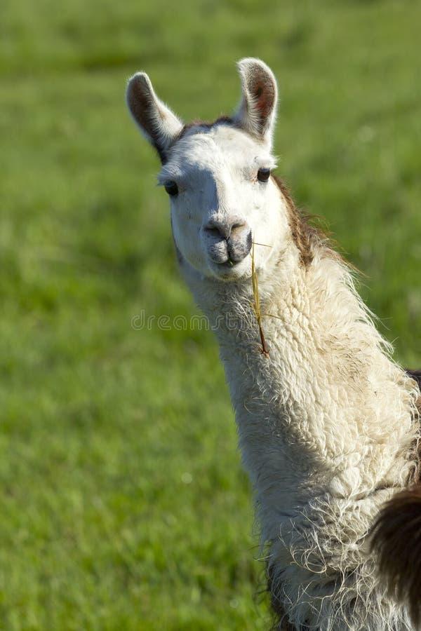 Portrait of white Llama. stock images