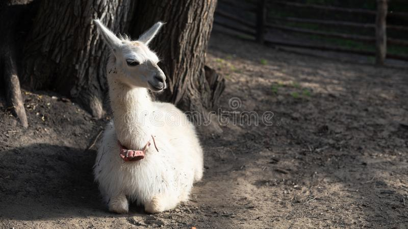 Portrait of white llama sitting on the ground turning its head to the right and looking haughty. Copy space. Portrait of white llama sitting on the ground royalty free stock photography