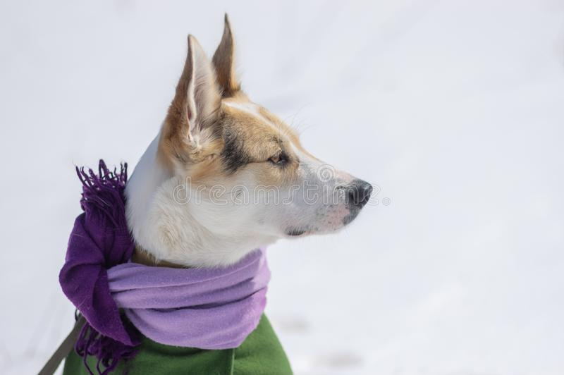 Portrait of white mixed-breed dog wearing comforter and coat stock photos