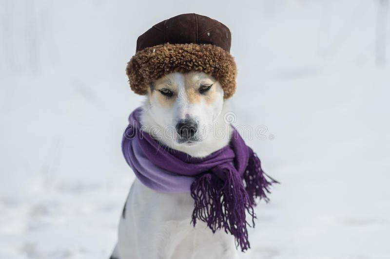 Portrait of white mixed-breed dog wearing comforter and fur-cap stock photos