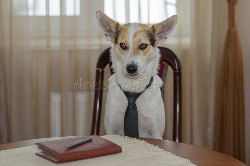 Portrait of white mixed-breed dog wearing necktie, hard thinking while sitting on a chair at the table stock photo