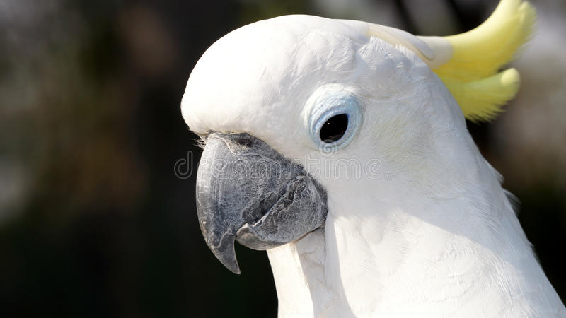 Portrait of a white parrot with a yellow tuft stock photo
