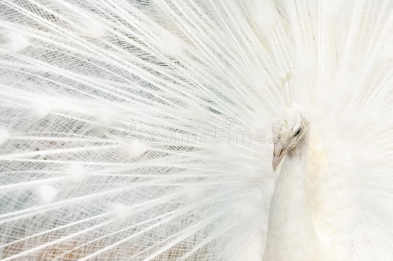 Portrait of a white peacock, with open feathers, performing the bridal dance royalty free stock images