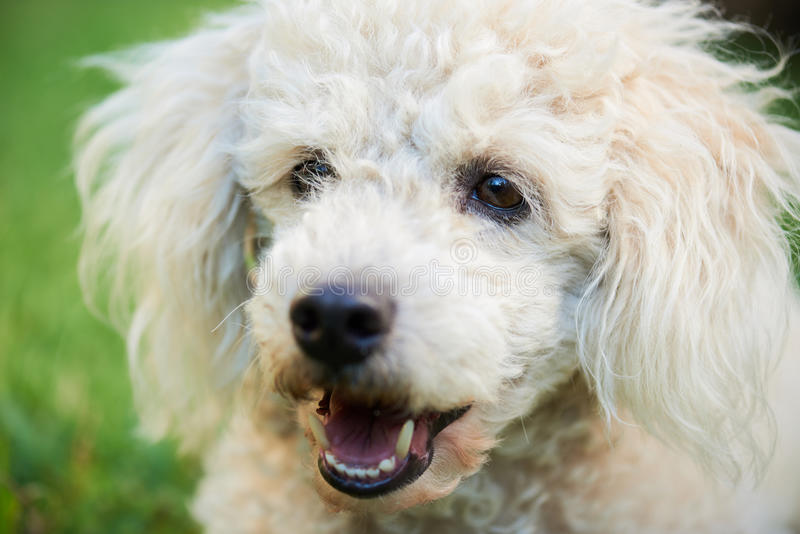 Portrait of white poodle stock image
