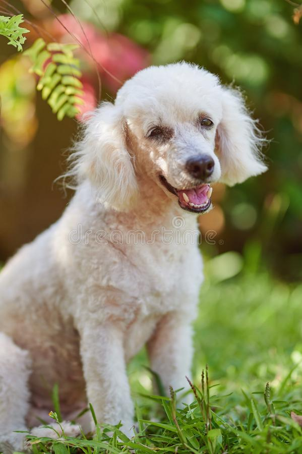 Portrait of white poodle dog royalty free stock photography