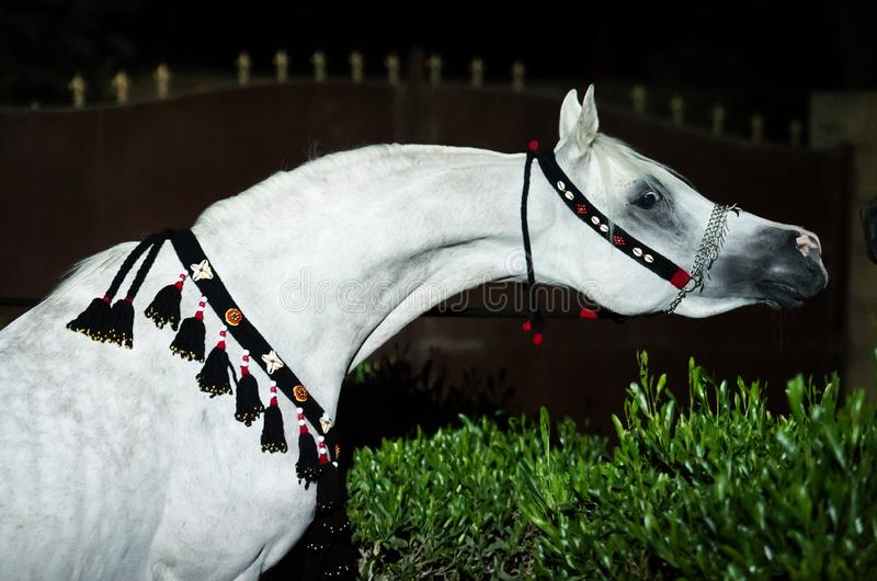 Portrait of white purebred egyption arabian stallion at night. Egypt royalty free stock image