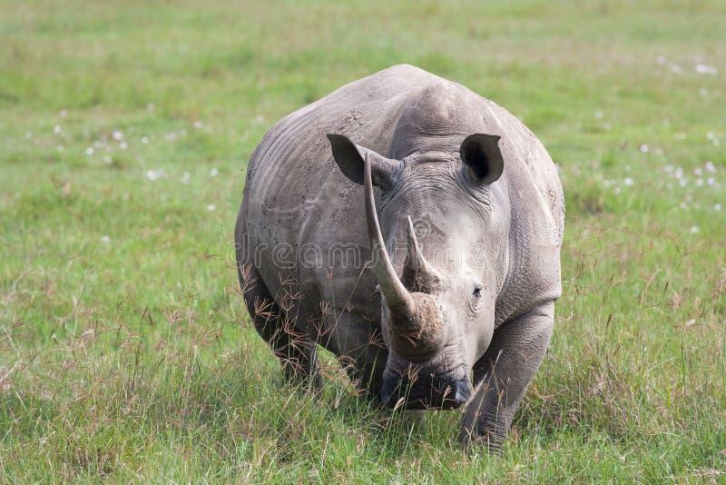 Portrait of white rhino on Nakuru Lake. Kenya. Africa stock photography
