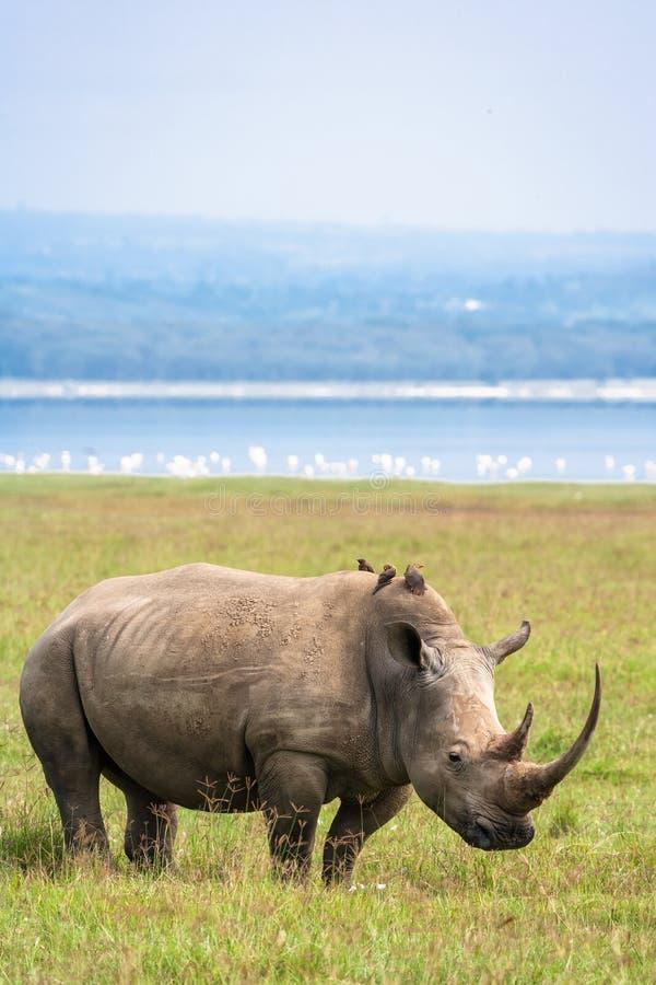 Portrait of white rhino on Nakuru Lake. Rhinoceros in the background of flamingos. Kenya. Africa stock photo
