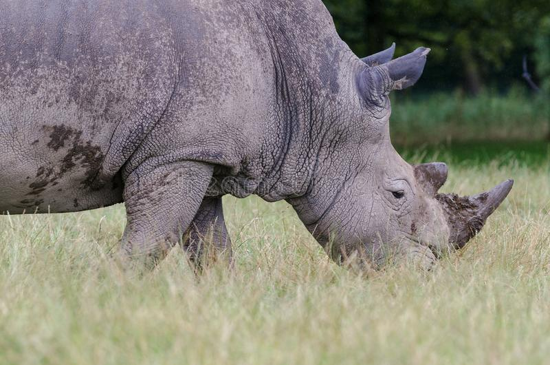 A portrait of a white rhino walking though tall grass.  stock images