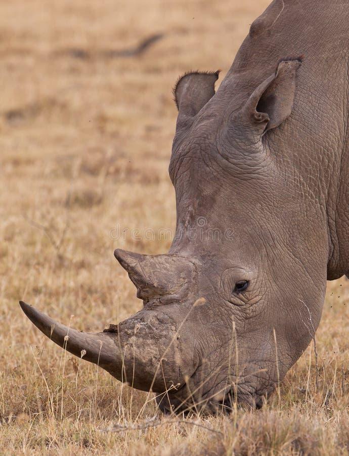 Portrait of the White Rhinoceros stock photos