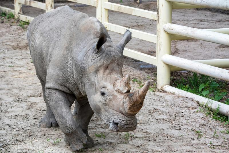Portrait of White rhinoceros or Ceratotherium simum in captivity. Close view of White rhinoceros or Ceratotherium simum in captivity in zoo stock photography