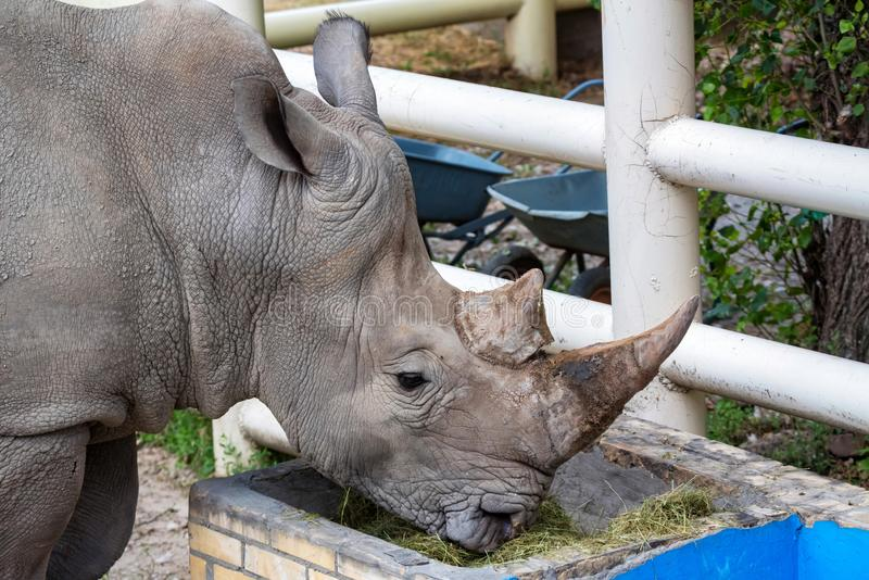 Portrait of White rhinoceros or Ceratotherium simum eating grass in captivity. Close view of White rhinoceros or Ceratotherium simum eating hay in captivity in stock photo