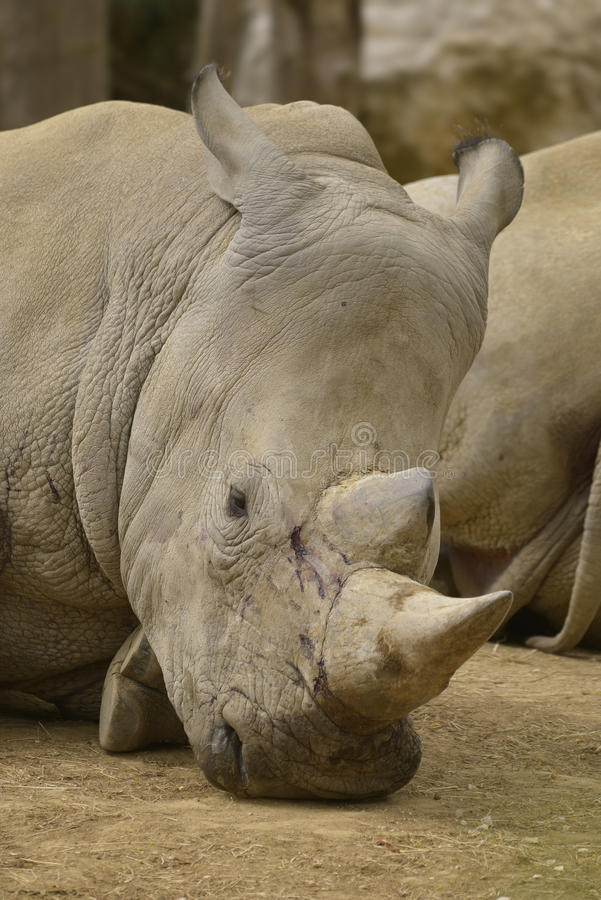 Portrait of white rhinoceros. Front portrait of white rhinoceros or square-lipped rhinoceros (Ceratotherium simum) lying on ground royalty free stock photography