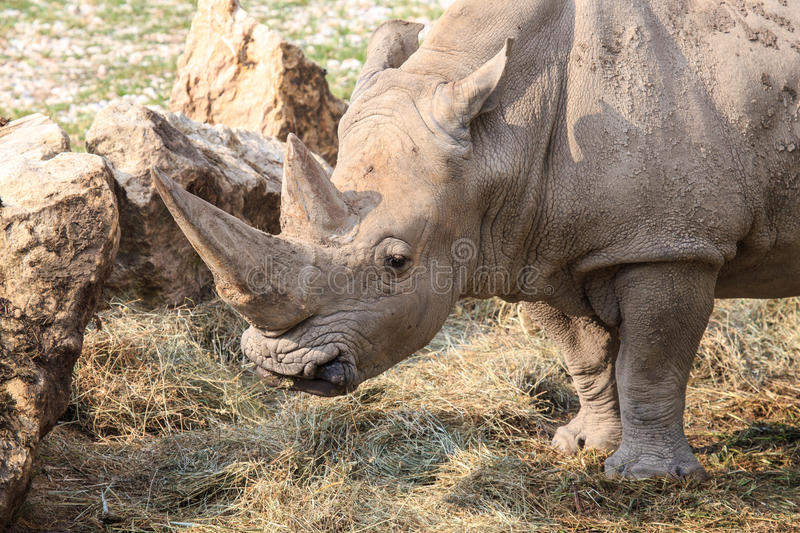 Portrait of a white rhinoceros. Or square-lipped rhinoceros, Ceratotherium simum. On the snout rhinoceros have two horns one behind the other royalty free stock photos