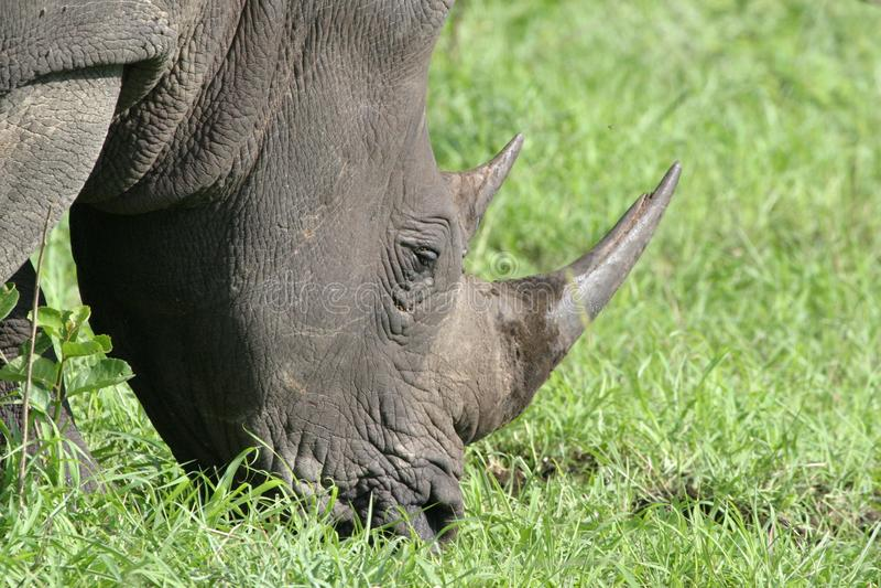 Download Portrait white rhinocerous stock image. Image of heavy - 3754983