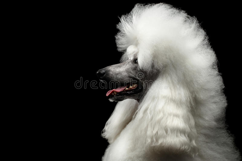 Portrait of White Royal Poodle Dog Isolated on Black Background. Portrait of White Royal Poodle Dog with Hairstyle Looking at side Isolated on Black Background stock image