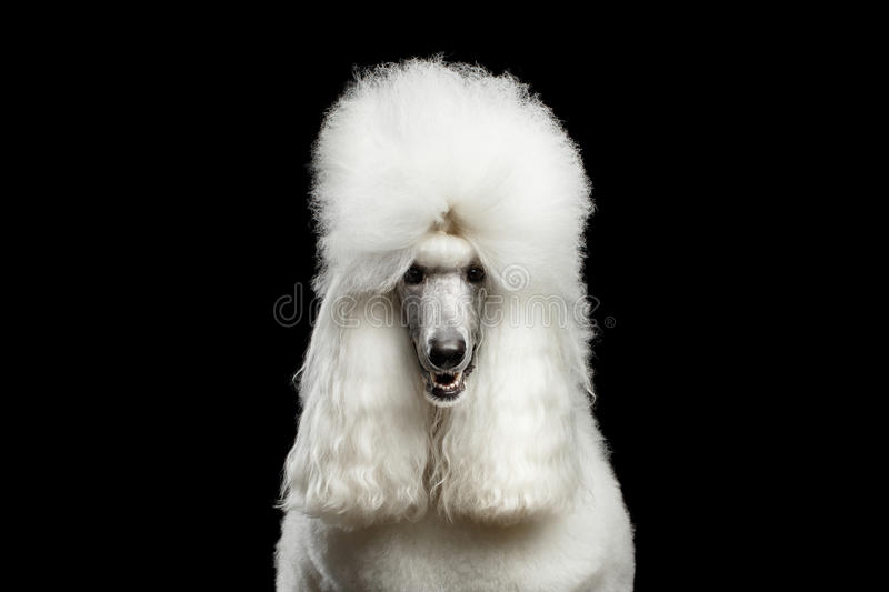 Portrait of White Royal Poodle Dog Isolated on Black Background. Portrait of White Royal Poodle Dog Looking in Camera Isolated on Black Background, front view stock photos