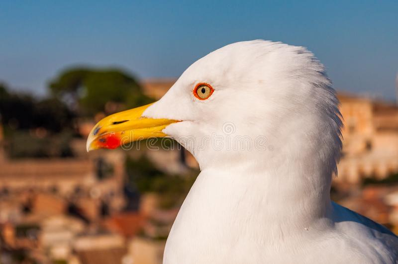 Portrait of white Seagull sitting on the roof. The Larus Argentatus or the European herring gull, seagull is a large gull up to 65. Close-up portrait of white royalty free stock images