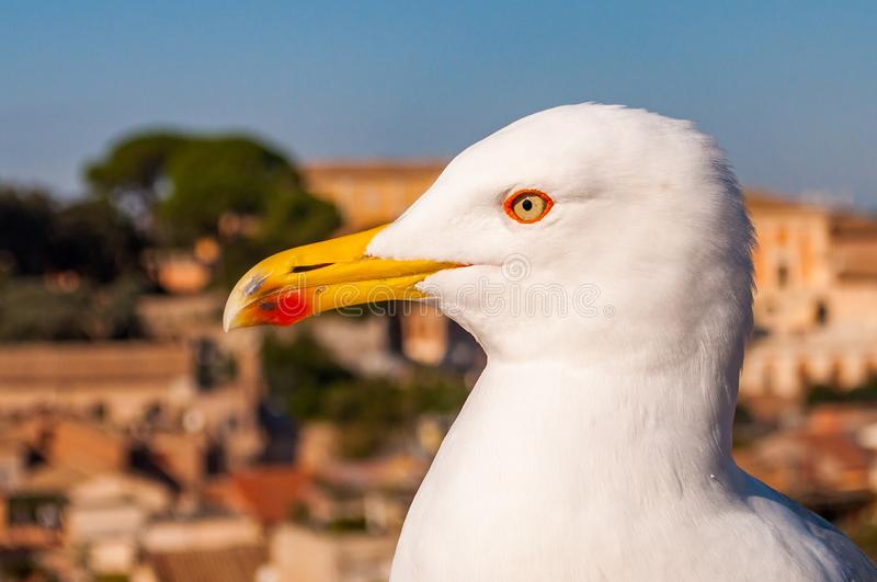 Portrait of white Seagull sitting on the roof. The Larus Argentatus or the European herring gull, seagull is a large gull up to 65. Close-up portrait of white stock image