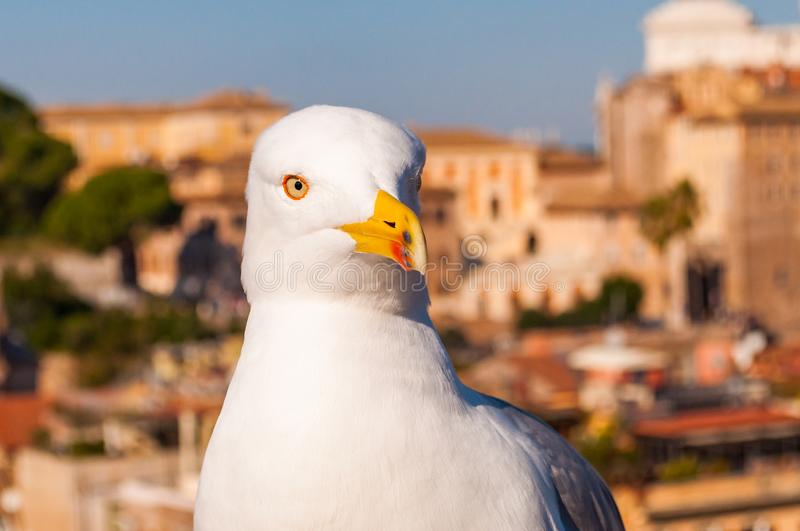 Portrait of white Seagull sitting on the roof. The Larus Argentatus or the European herring gull, seagull is a large gull up to 65. Close-up portrait of white stock images