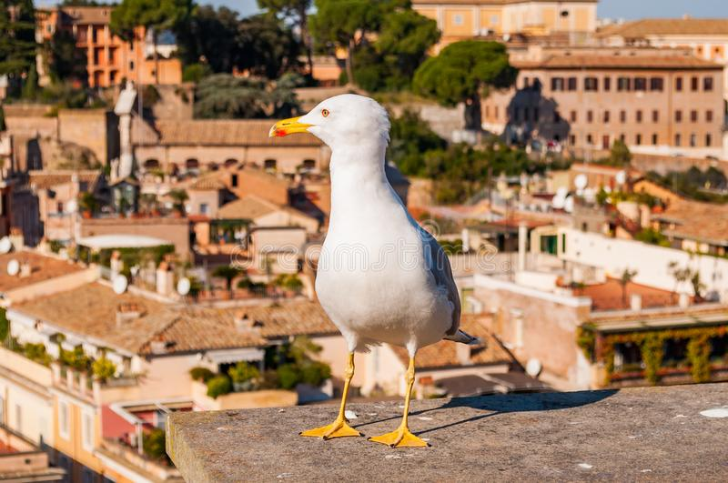 Portrait of white Seagull sitting on the roof. The Larus Argentatus or the European herring gull, seagull is a large gull up to 65. Close-up portrait of white royalty free stock photography