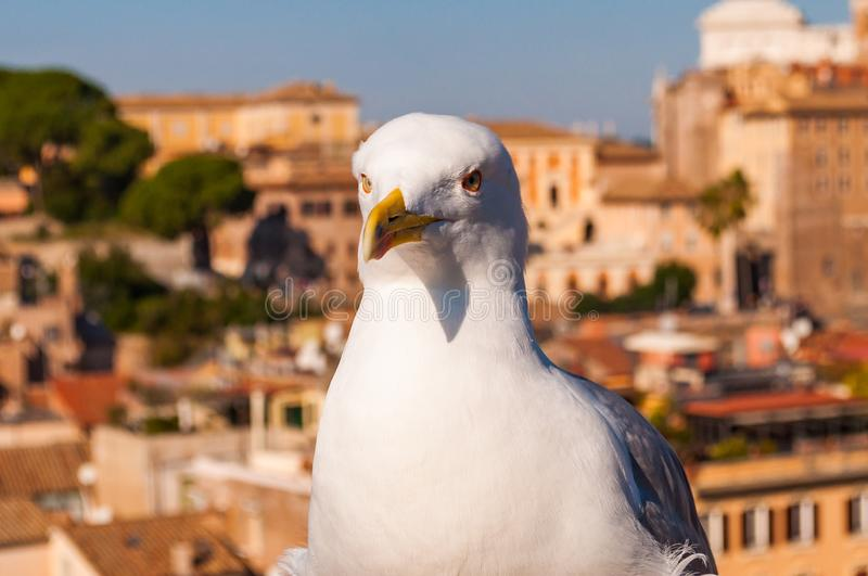 Portrait of white Seagull sitting on the roof. The Larus Argentatus or the European herring gull, seagull is a large gull up to 65. Close-up portrait of white stock photo