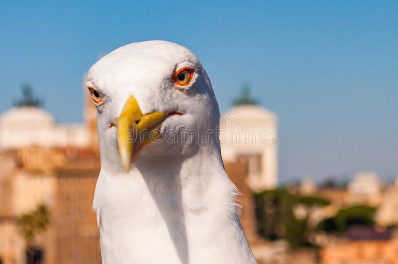 Portrait of white Seagull sitting on the roof. The Larus Argentatus or the European herring gull, seagull is a large gull up to 65. Close-up portrait of white royalty free stock photos